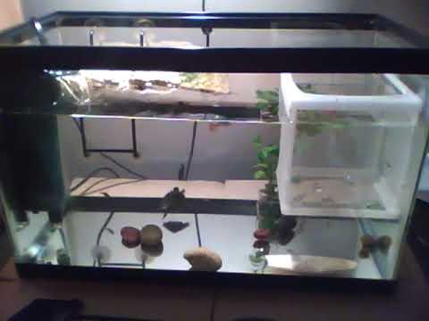 My uploaded baby red eared slider tank YouTube