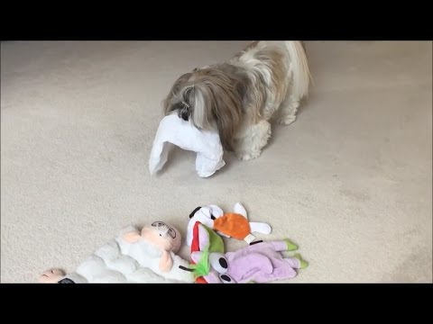 Typical Lacey loves the paper not the toy 😉 | Talking ball | Shih Tzu dog 🐾