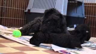 "K Litter Kerry Blue Terrier ""of The Braggadocio"". 26-04 2015"