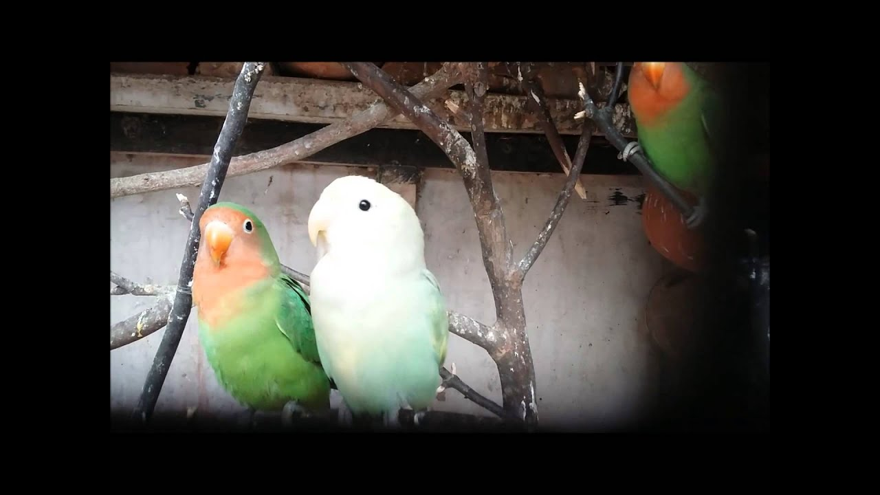 Peach Faced Lovebird Songs