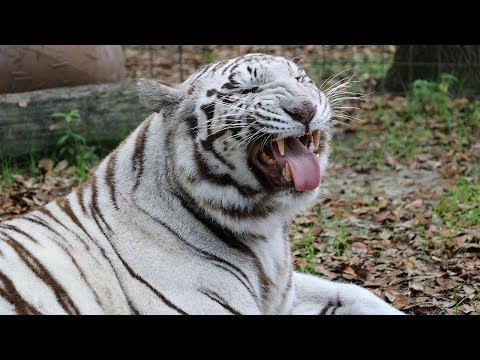 New White Tiger At Big Cat Rescue - YouTube