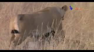 二匹の子どもを木陰に隠し狩りに向かう母ライオン 仕留めた獲物を子供が...