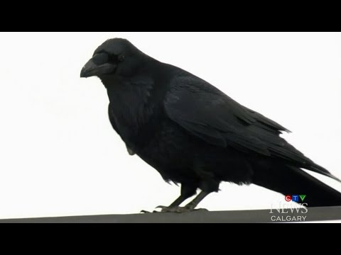 Has the COVID-19 pandemic changed the behaviour of ravens?