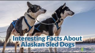 Interesting Facts About Alaskan Sled Dogs