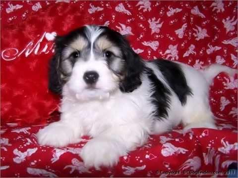 Gorgeous Cavachon Puppy's for sale DCDogfinders