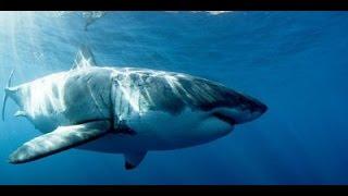Auf den Spuren des weissen Hais HD