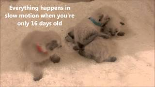 Adorbable Siamese kittens are 16 days old