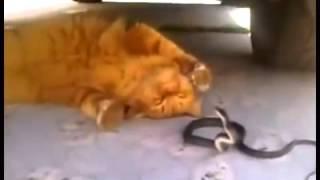 Кот играет с ядовитой змеей! кошки приколы