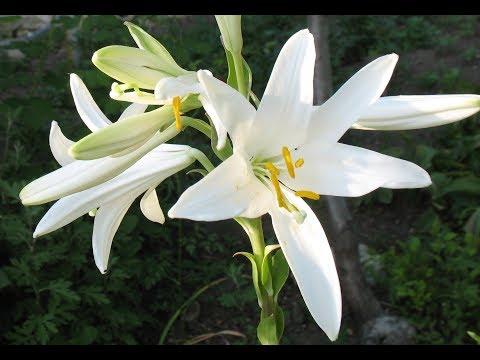 Лилии белые божественные с сильным приятным запахом