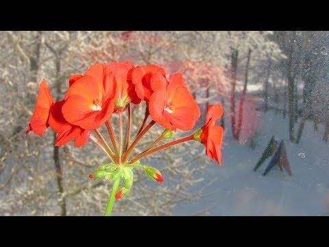 Почему вытягиваются герани  Как ухаживать за пеларгонией зимой