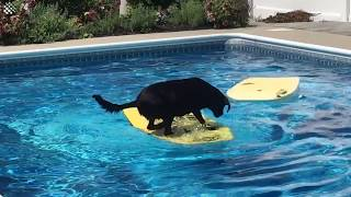 Dog shows off incredible balancing skills when surfing across owner's pool