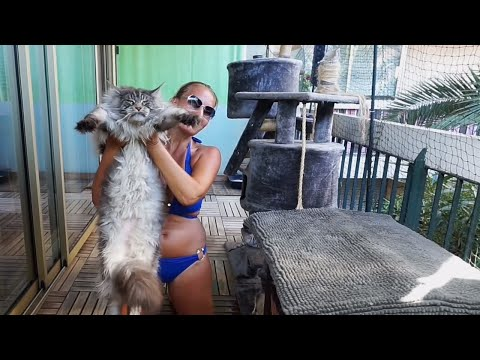 BIG MAINE COON CAT Silver Hélios.... Owner showing how maine coon cat breed is BIG !! Мейн кун кот