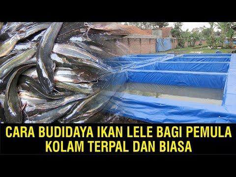 Cara Budidaya Ikan Lele Di Kolam Beton Untuk Bisnis Jangka Panjang..