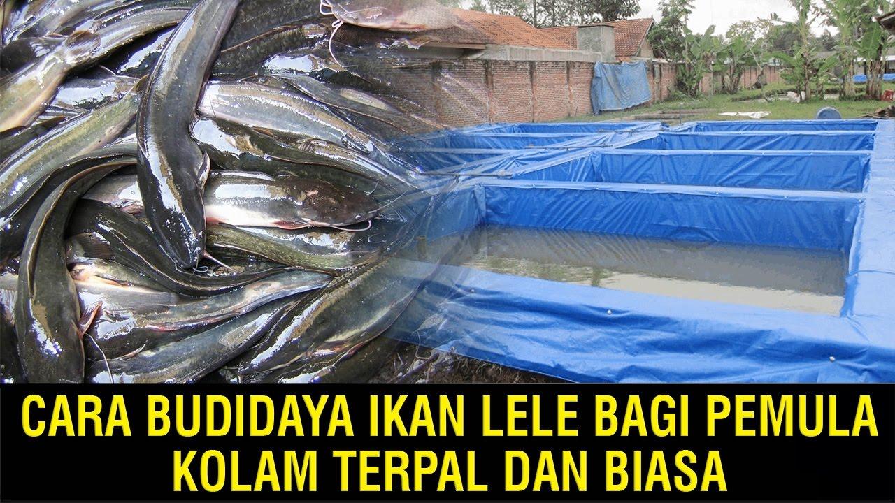 Cara Budidaya Ikan Lele Bagi Pemula, Kolam Terpal dan ...