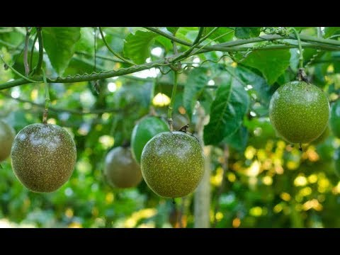 Passion fruit farming in Kenya and what you need to know