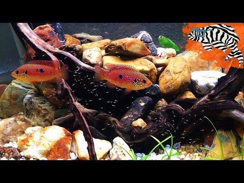 CICHLID BABIES!! Raised Without Baby Brine Shrimp - Hemichromis Lifalili