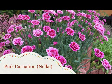 Caring and Propagating of Pink Carnation (Nelke)