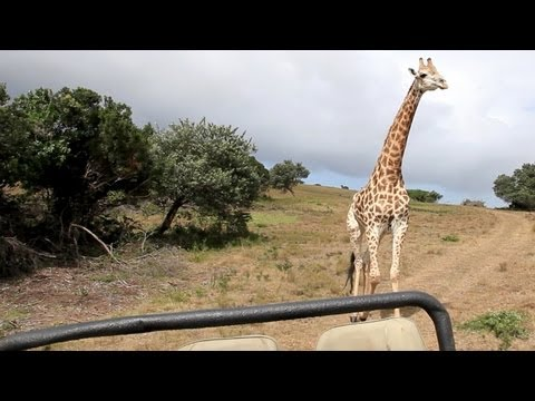 Giraffe Attacks Jeep on Safari