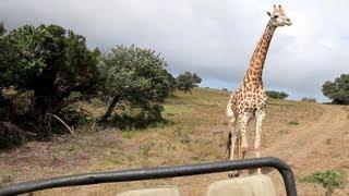 Giraffe Attacks Jeep on Safari