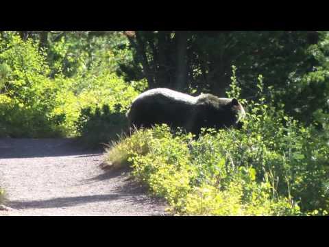 Grizzly Bear Encounter Aug 2016 Montana Glacier National Park Video 2