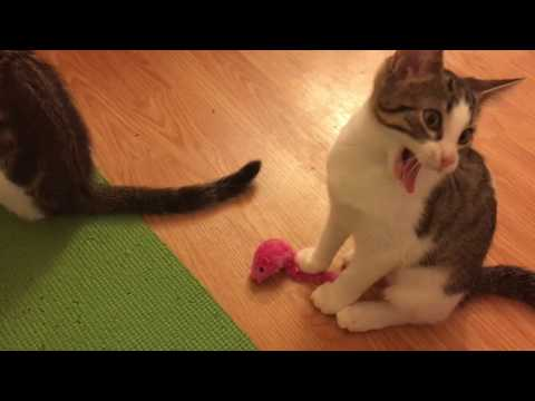 Foster Kittens Playing with New Mice Up Close :)