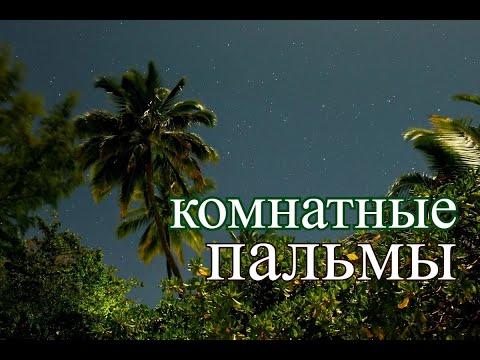 Вопрос: Дум-пальма. Что собой представляет и в чем ее особенность?
