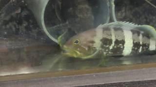 釣ってきたネンブツダイを丸呑みする肉食魚 アオアタ thumbnail