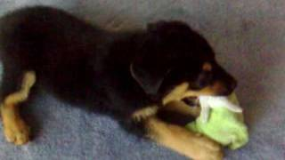 Zeus The Rottweiler  2 Months Old Puppy