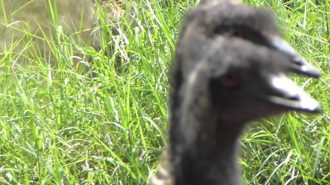 how to make an emu
