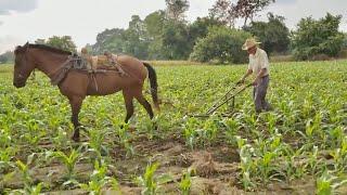 el-trabajo-que-ya-nadie-hace-arar-la-milpa-con-caballo-22