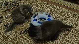 Сибирские котята 2 месяца 5 дней.