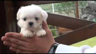 Amazingly Tiny Baby Tea Time Micro Teacup Maltese For Sale