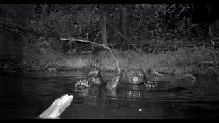 Epic Montana Wildlife - Floating Black Bear
