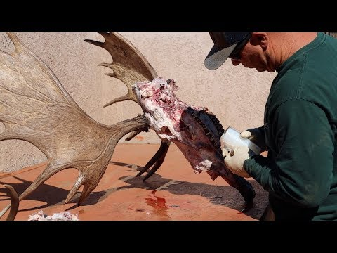 "HOW TO CLEAN A BULL MOOSE SKULL ""SHIRAS"""