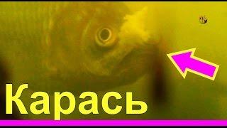 Карась. Поклевки.Подводная съемка. Crucian. Рыбалка, ловля карася на поплавок. fishing(Поклевки карася. Подводная съемка. Ловил поплавочной удочкой на червя и мякоть хлеба.….((Мой канал- это..., 2014-08-21T13:30:11.000Z)