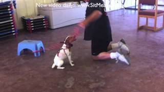 Jack Russell Terrier Training - Sarah And 'river'