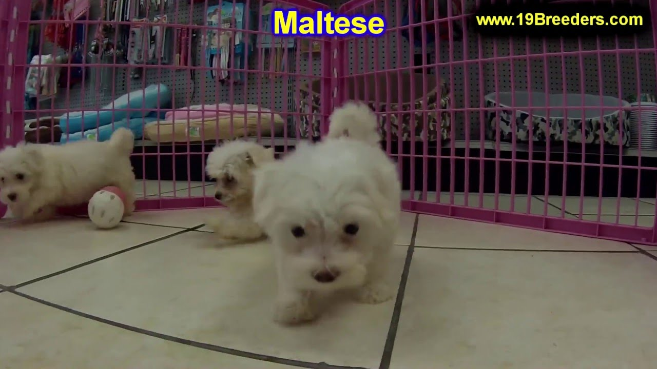 maltese puppy for sale in tn maltese puppies dogs for sale in memphis tennessee 5436