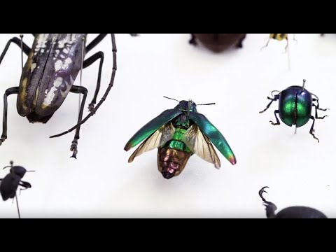Fashion embellished with jewel beetle wings