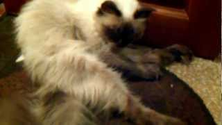 Котэ балинез - четкий кот! (на мойке)