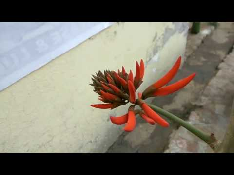 How to grow coral tree care and tips