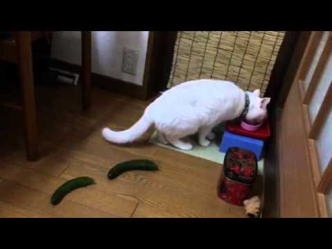 Thumbnail for Cat Video Cat Scared By Cucumbers
