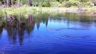 Tahoe Beavers!