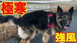 grandchild and #GermanShepherd#秋田犬 #シェパード犬 気温低く、極寒...