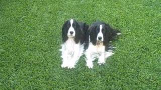 English Springer Spaniel Puppies. Training 2 Dogs At One Time