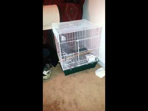 Congo African Gray dancing in travel cage