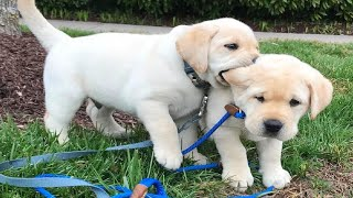 Funniest & Cutest Golden Retriever Puppies #27  Funny Puppy Videos 2019