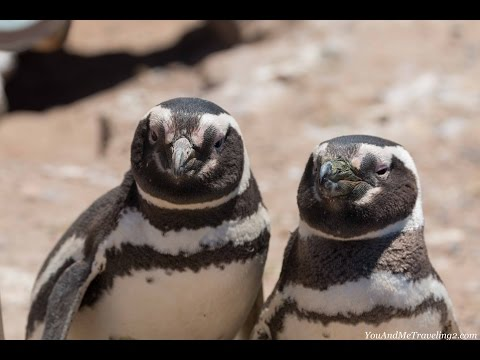 Magellanic penguins at Punta Tombo, Argentina 1