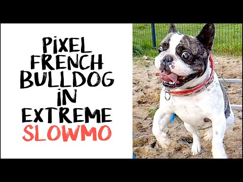 Pixel the French Bulldog jumps in Extreme Slowmotion