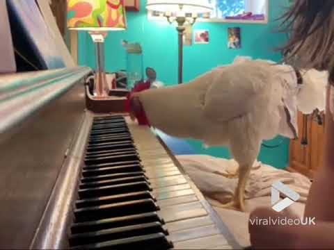 Rooster playing the piano || Viral Video UK