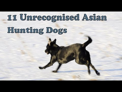 11 Hunting Dogs From Asian Countries